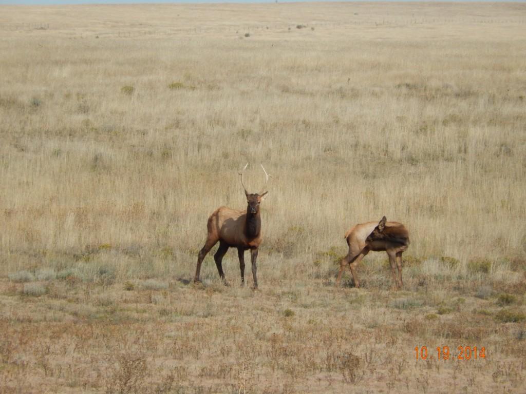 Elk on NM 104