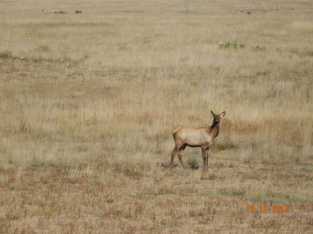 Elk on NM 104